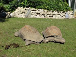 Seychellen-Riesenschildkröte_3539_1024