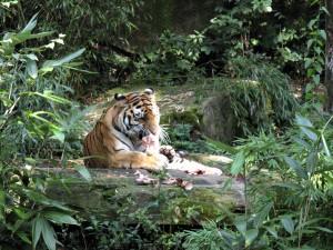 Sibirischer_Tiger_4980_1024