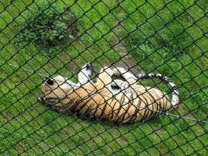 Sibirischer_Tiger_5324_1024