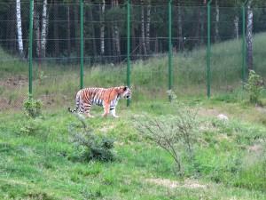 Sibirischer_Tiger_5398_1024