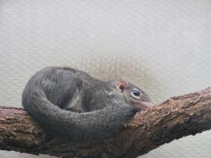 Spitzhörnchen_5088_1024
