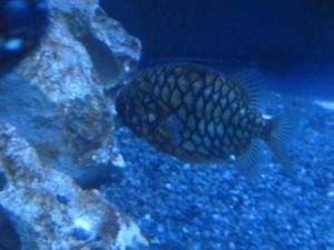 Tannenzapfenfisch_9976_1024