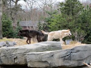Timberwolf_1335_1024