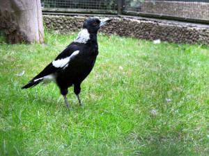 Weißrücken-Flöttenvogel_2940_1024