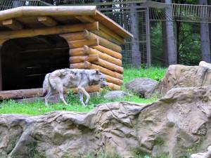 Westlicher_Timberwolf_5426_1024
