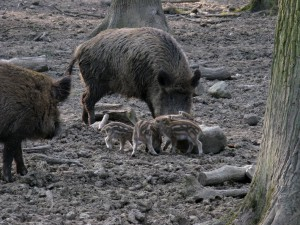 Wildschweine_1035_1024
