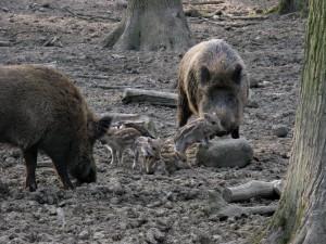 Wildschweine_1036_1024