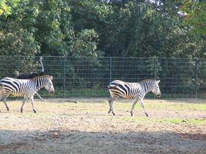 Zebra_0036_1024