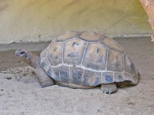Aldabra-Riesenschildkröte_5651_1024