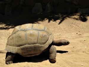 Aldabra-Riesenschildkröte_5653_1024