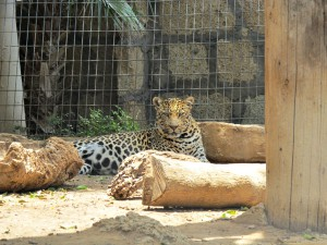 Leopard_1986_1024