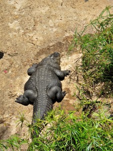 Mississippi-Alligator_1977_1024