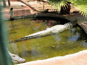 Mississippi-Alligator_6744_1024