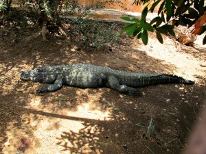 Mississippi-Alligator_6750_1024