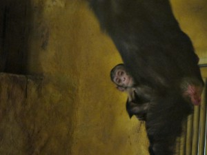 Schimpanse_4585_1024