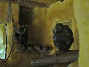 Schimpanse_4590_1024