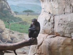 Schimpanse_9074_1024