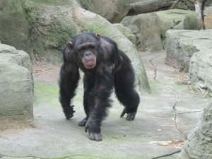 Schimpanse_9076_1024