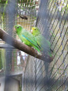 Amazonas-Grünbürzel-Sperlingspapagei_9501_1024