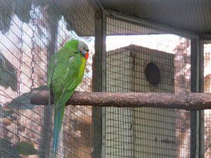 Andamanen-Bartsittich_9288_1024
