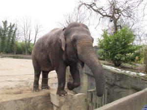 Asiatischer_Elefant_8798_1024
