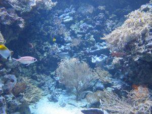 Diadem-Husarenfisch_(Mitte)_+_Arabischer_Doktorfisch_(rechts)_7192_1024