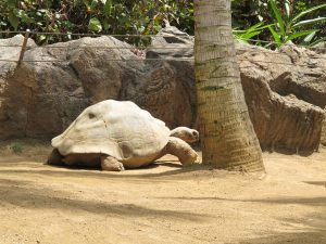Galapagos-Riesenschildkröte_9283_1024