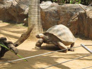 Galapagos-Riesenschildkröte_9284_1024