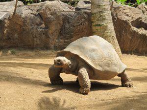 Galapagos-Riesenschildkröte_9285_1024