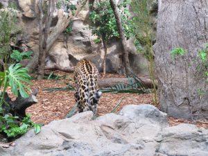 Jaguar_8373_1024