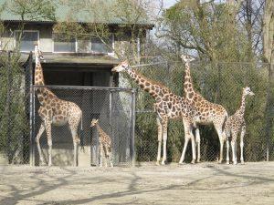 Rothschild-Giraffe_8862_1024