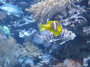 Rotmeer-Anemonenfisch_(Vordergrund)_7190_1024