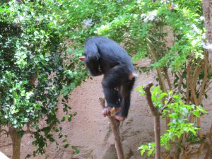 Schimpanse_8174_1024