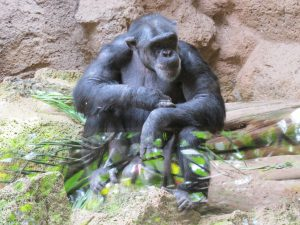 Schimpanse_8175_1024