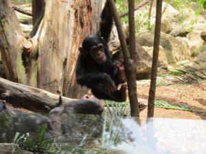 Schimpanse_8176_1024