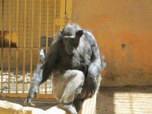 Schimpanse_8809_1024