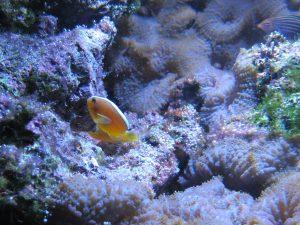 Weißrücken-Anemonenfisch_7151_1024