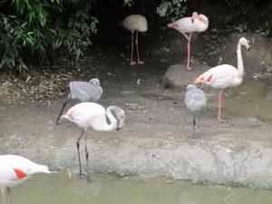 Rosa_Flamingo_5645_1024