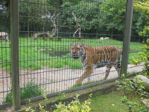 Sibirischer_Tiger_5299_1024