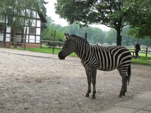 Zebra_5273_1024